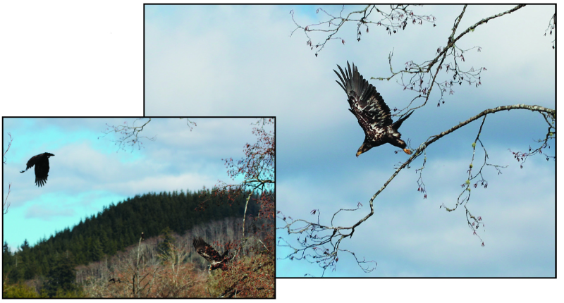Eagles of all sorts have flocked to the area