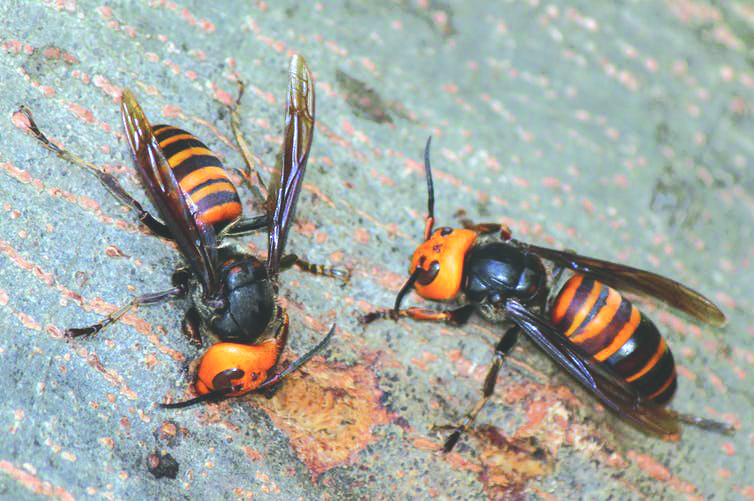 Photo Courtesy Alpsdake -  Asian giant hornets shown drinking sap from tree bark in Japan. The troublesome insect has been spotted in Washington.
