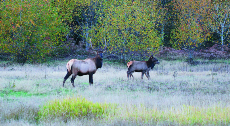 Elk are on the move throughout the county