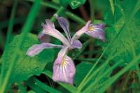 Iris Blooming in Banner Year