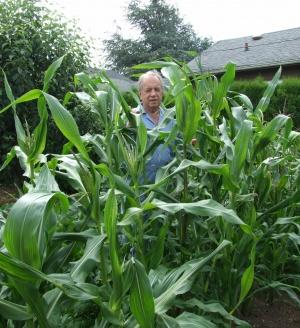 Corn crop challenges traditionally short stalks
