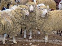 Shearing season fast-approaching
